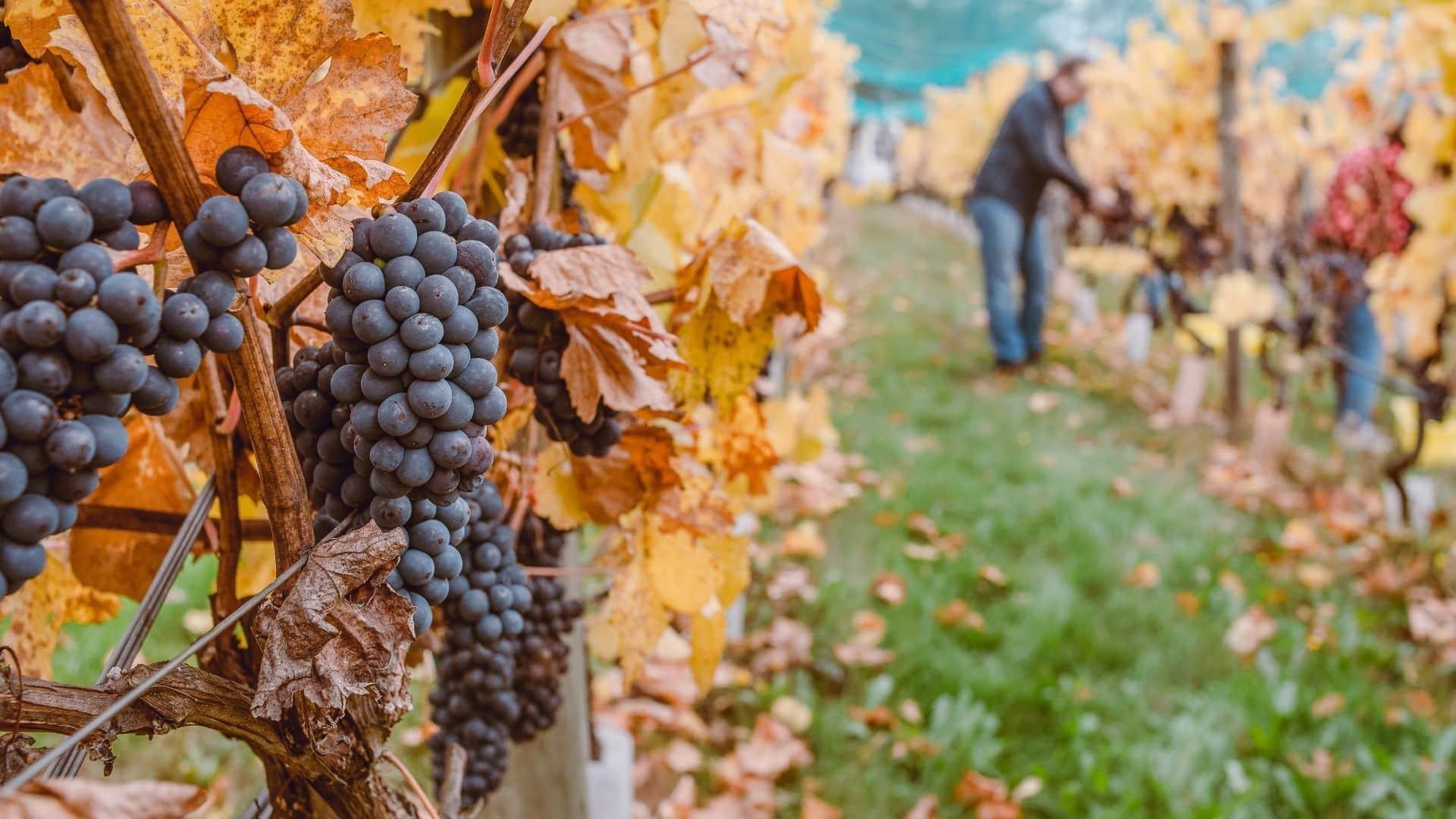 WineSens - media testo